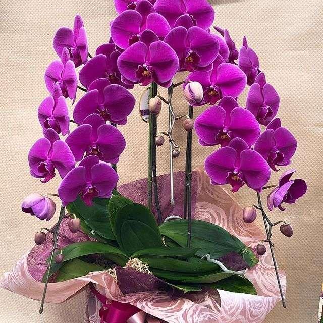国分町へお誕生日祝いの濃いピンクの胡蝶蘭の配達です。